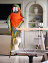 Macaw indoors Royalty Free Stock Photo