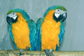Macaw a pair of blue green Stock Image