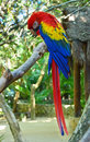 Macaw parrot bird Royalty Free Stock Photo