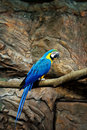 Macaw parrot blue Royalty Free Stock Photo