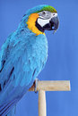 Macaw parrot blue and yellow studio shot Royalty Free Stock Photography