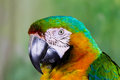 Macaw parrot close up Royalty Free Stock Image