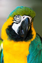 Macaw parrot colorful at a aviary in south florida Stock Images