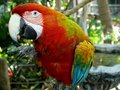 Macaw parrot: eating peanut Royalty Free Stock Photo