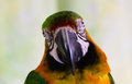 Macaw parrot looking camera Royalty Free Stock Photo