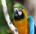 Macaw perched on a tree portrait of branch Stock Image