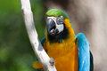 Macaw perched on a tree portrait of branch Royalty Free Stock Photo