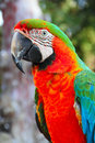 Macaw portrait of a beautiful colorful parrot close up Royalty Free Stock Image