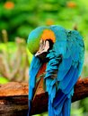 Macaw (psittacine) Royalty Free Stock Photo