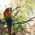 Macaw red and blue sitting on a tree branch Royalty Free Stock Photography