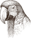 Macaw vector drawing of the head of the big parrot Stock Images
