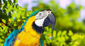Macaw  in wildness area Royalty Free Stock Image