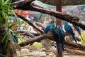 Macaws clinging to tree branch bangkok thailand feb at safari world thailand while it was raining on february Royalty Free Stock Images
