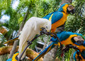 Macaws in the zoo thailand Royalty Free Stock Photo