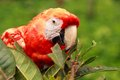 Maccaw parrot free plays in the nature Royalty Free Stock Image