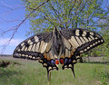 Machaon butterfly Royalty Free Stock Photo