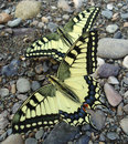 Machaons two on stones in the morning Stock Photo