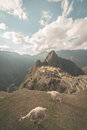 Machu Picchu illuminated by the last sunlight coming out from the opening clouds. Wide angle view from above with two grazing llam Royalty Free Stock Photo