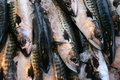 Mackerels (Scomber scombrus) Royalty Free Stock Images