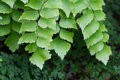 Macro of adiantum philippense or maidenhair fern growing in flow Royalty Free Stock Photo