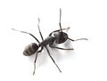 Macro of ant over white warrior from above standing on background Royalty Free Stock Images