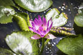 Macro of Beautiful Lotus flower, Purple water lily. Royalty Free Stock Photo