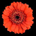 Macro of beautiful orange gerbera flower isolated on black with center close up background Royalty Free Stock Images