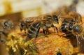 Macro bee Stock Photography