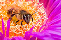 Macro of a bee in a flower Stock Images