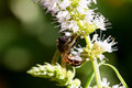 Macro of bee on flower lavender outdoor sunlight busy Royalty Free Stock Photo