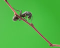 Macro big black ant brunch over green background low point view Stock Photo