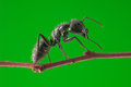 Macro big black ant standing tree brunch over green background Stock Image
