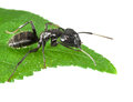 Macro black ant sitting leaf tip isolated white Stock Photography