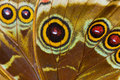 Macro of blue morpho butterfly wing detail peleides bottom view Royalty Free Stock Photo