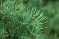 Macro branch fir christmas background Stock Photo