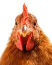 Macro Of Brown Chicken Head
