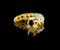 Macro of caterpillar over black pest isolated on reflective background Stock Photo