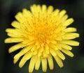 Macro Close Up Dandelion