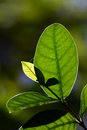 Macro close up newborn green leaves in natural Royalty Free Stock Photo