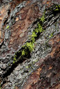 Macro Close-Up of Subar Pine Bark Royalty Free Stock Photo