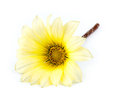 Macro closeup of beautiful yellow and white asteraceae daisy flower isolated on Stock Photos