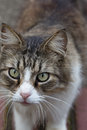 Macro closeup of longhair tabby cat's face Royalty Free Stock Photo