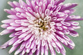 Macro closeup of pink chrysanthemum flower blossom Stock Photos