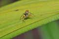 Macro of colorful jumping spider on green leaf Royalty Free Stock Photos