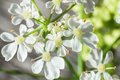 Macro of cow parsley flowers anthriscus sylvestris Stock Photos