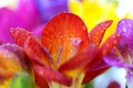 Macro crocus flowers Royalty Free Stock Photos