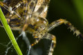 Macro of cross spider front Royalty Free Stock Photo