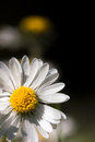 Macro daisy blossom bellis perennis spring front blurred background Stock Image