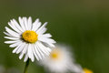 Macro daisy blossom bellis perennis spring front blurred background Royalty Free Stock Image