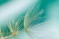 Macro of dandelion seed